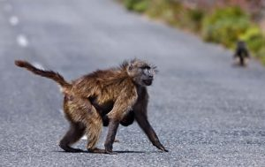 some-baboon-facts-fear-tail