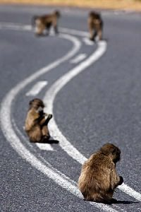 some-baboon-facts-road