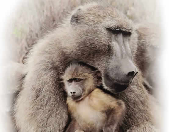 Being a Baboon Dad