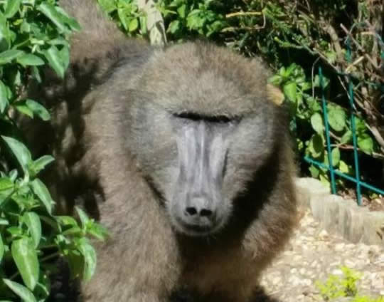 2018's first baboon victim has been killed.