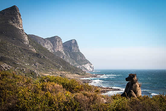 Cape Town baboon management:  How legal is it?