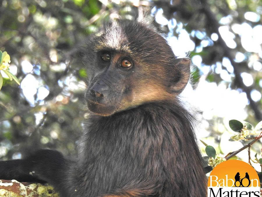 Newsletter November 2019 – The Future of Baboon Matters