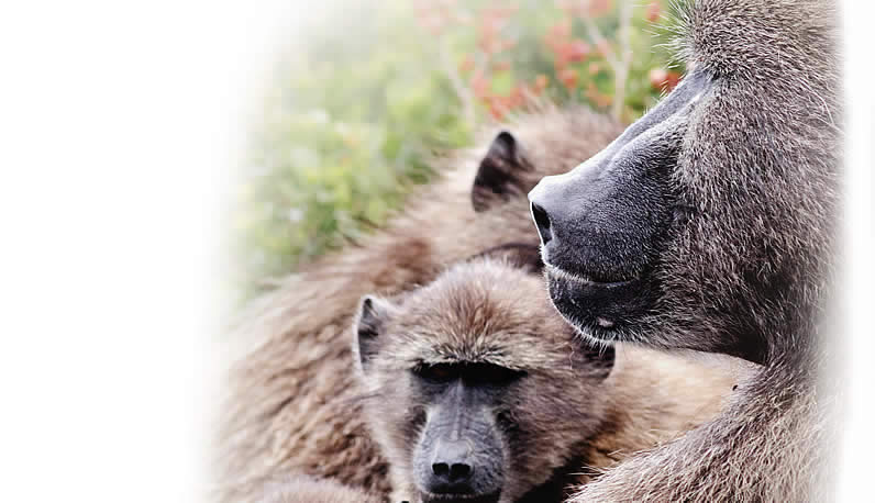 Baboon Matters in the News
