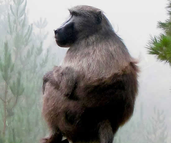 Baboon Management in Cape Town needs a Management Plan!