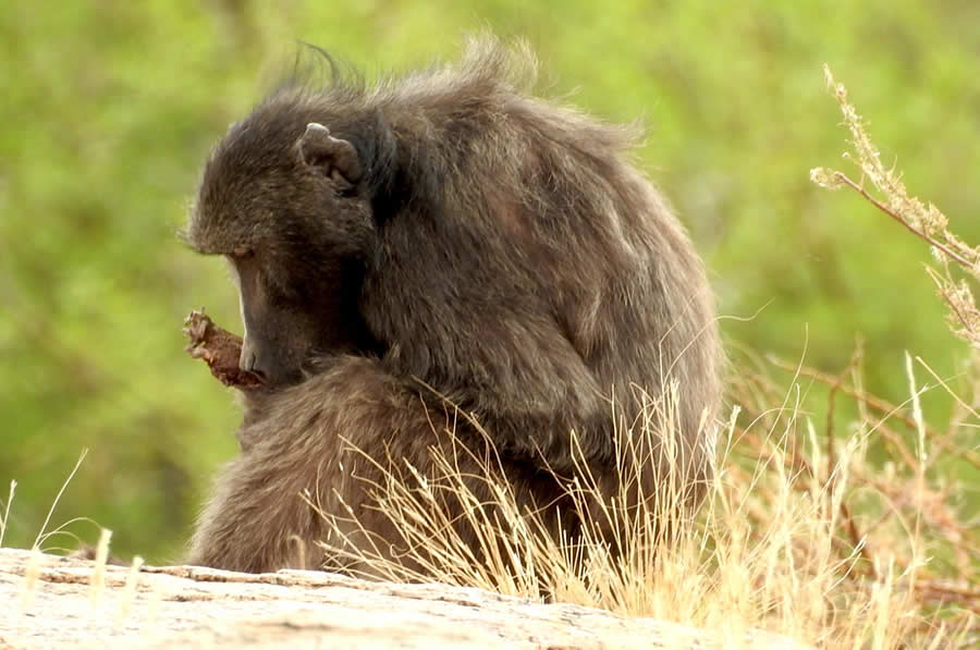 Are baboons, like most humans, right hand dominant?